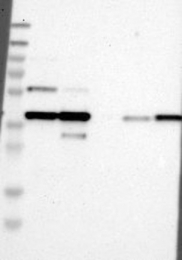 NBP1-87950 - Nuclease EXOG