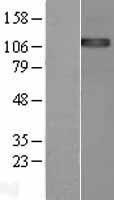 NBL1-10273 - ENPP1 Lysate