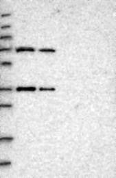 NBP1-93911 - ENTHD1