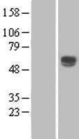 NBL1-10281 - ENTPD2 Lysate