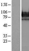 NBL1-10285 - EOMES Lysate