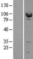 NBL1-10287 - EPB41L1 Lysate