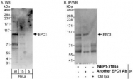 NBP1-71865 - EPC1