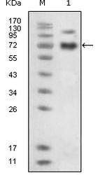 NBP1-47434 - EPHB4