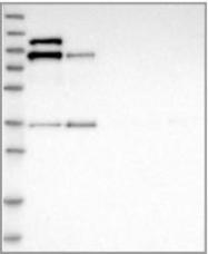 NBP1-87947 - LIMA1