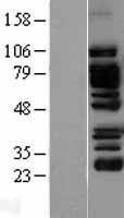 NBL1-12533 - EPLIN Lysate