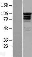 NBL1-10302 - EPS15R Lysate