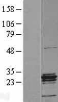 NBL1-11723 - ERAB Lysate