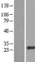 NBL1-10313 - ERAS Lysate
