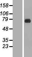 NBL1-10326 - ERF Lysate