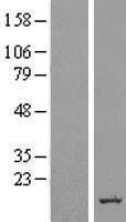 NBL1-08166 - ERG28 Lysate