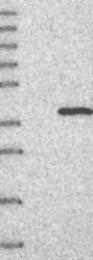 NBP1-83962 - ERGIC1