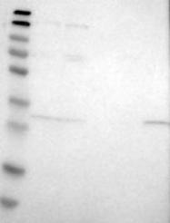 NBP1-83963 - ERGIC1