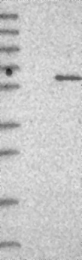 NBP1-83959 - ERGIC2