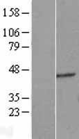 NBL1-10330 - ERGIC2 Lysate