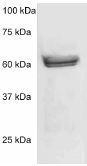NBP1-74056 - MAPK3 / ERK1