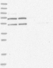 NBP1-86801 - ERLEC1