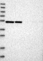 NBP1-86802 - ERLEC1
