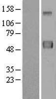 NBL1-08410 - ERLEC1 Lysate