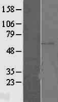 NBL1-10361 - ERM / Etv5 Lysate