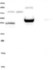 NBP1-87151 - ERMAP