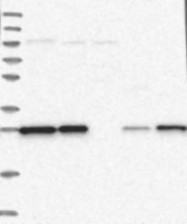 NBP1-84801 - Ermin