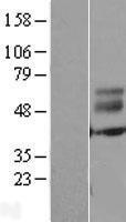 NBL1-10334 - ERMN Lysate