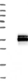 NBP1-88393 - ERP27