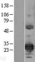 NBL1-10338 - ERP29 Lysate