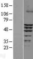 NBL1-10339 - ERRFI1 Lysate