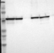 NBP1-84796 - PDIA3