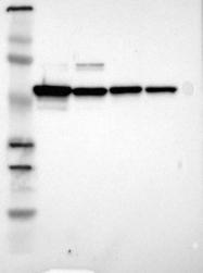 NBP1-84797 - PDIA3
