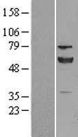 NBL1-14244 - ERp57 Lysate