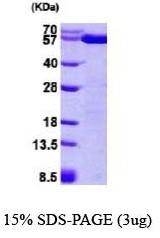 NBP1-37081 - PDIA3