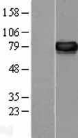 NBL1-14245 - ERp72 Lysate
