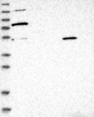 NBP1-82202 - ESRP1 / RBM35A
