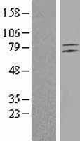 NBL1-10251 - ETL Lysate