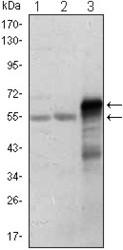 NBP1-47474 - ETS1