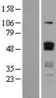 NBL1-10355 - ETS1 Lysate