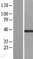 NBL1-17424 - ETS1 associated protein II Lysate