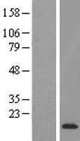 NBL1-10358 - ETV3 Lysate