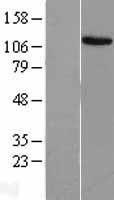 NBL1-10364 - EVI1 Lysate