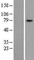 NBL1-10380 - EXOC5 Lysate