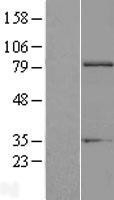 NBL1-10391 - EXT1 Lysate
