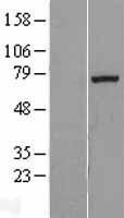 NBL1-10393 - EXT1 Lysate