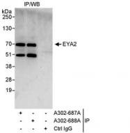NBP1-46816 - EYA2 / EAB1