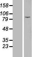 NBL1-10398 - EZH1 Lysate