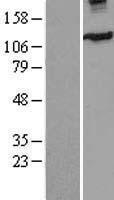 NBL1-12284 - Eg5 Lysate
