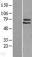 NBL1-10231 - Elf4/MEF Lysate