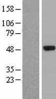 NBL1-10249 - Elp4 Lysate